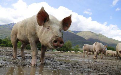 L'utilisation d'antibiotiques en élevage est-elle autorisée dans le cadre de la démarche Bleu-Blanc-Cœur ?