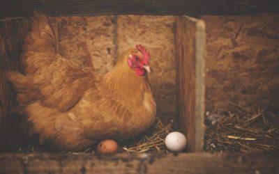 Volailles : ne pas mettre tous les œufs dans le même panier !